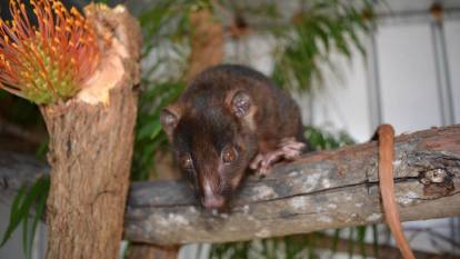 Western ringtail possums call backyards home